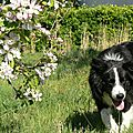 Meiko - male border collie