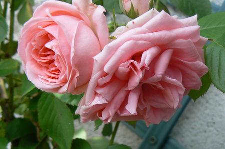 rose_rose