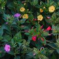 2009 08 17 Fleurs de belles de nuits en mélange
