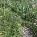 2009 06 23 Fleurs et plantes sauvages au sommet du Puy de Dôme
