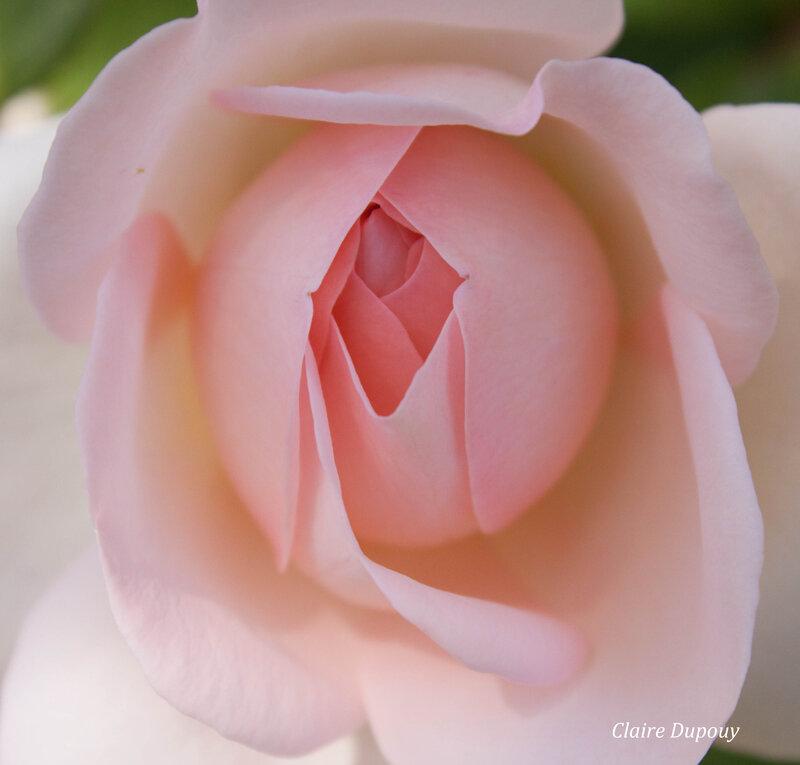 Roseb