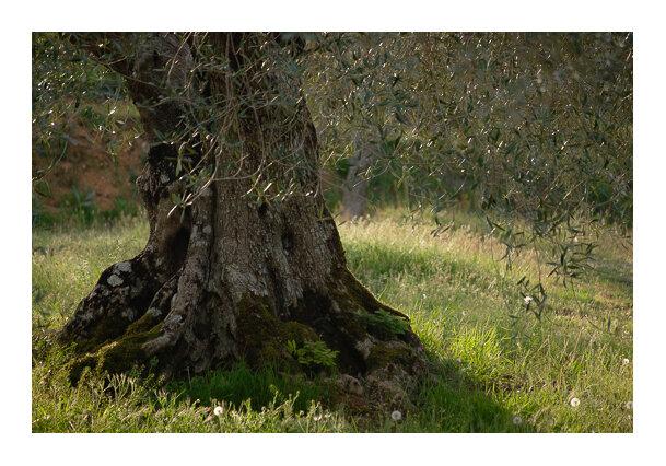 L'olivier vespéral