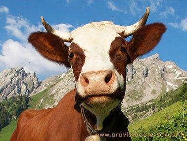 belle_vache