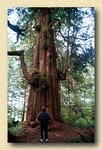 old_growth_red_cedar