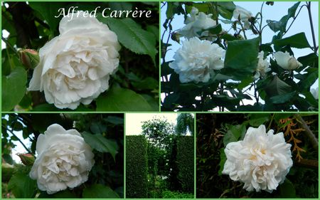ALFRED CARR7RE