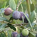 Olives, arbouses et passiflore
