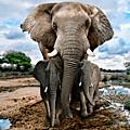 La chine va interdire le commerce de l'ivoire pour protéger les éléphants
