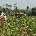 Femmes dans un champ de tabac