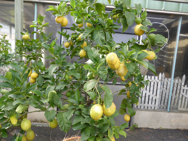 23-agrumes, citronniers (6)