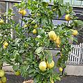 3 novembre - mes agrumes et citronniers....hiver et ete