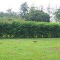 ibis familier