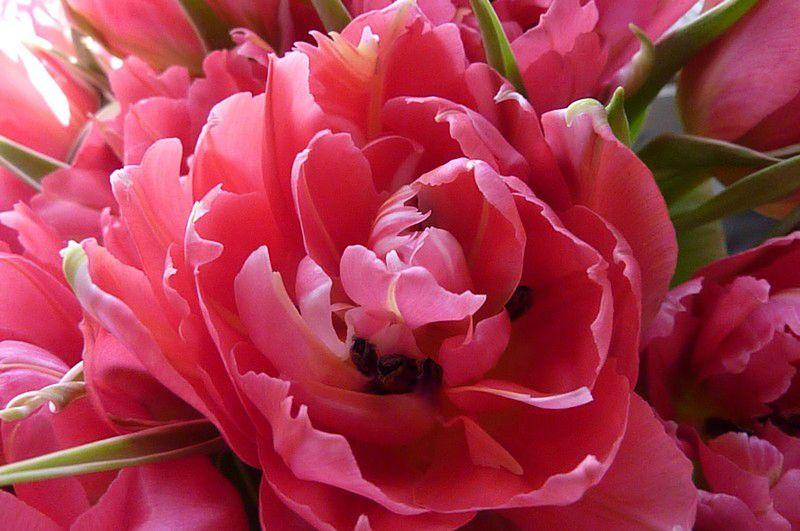 Tulipes mars 2012 (9)