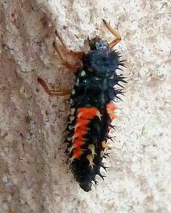 larve de coccinelle asiatique (harmonia axyridis)