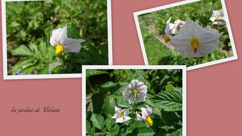 fleur de tomates2