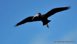 ibis_face_nue__12_