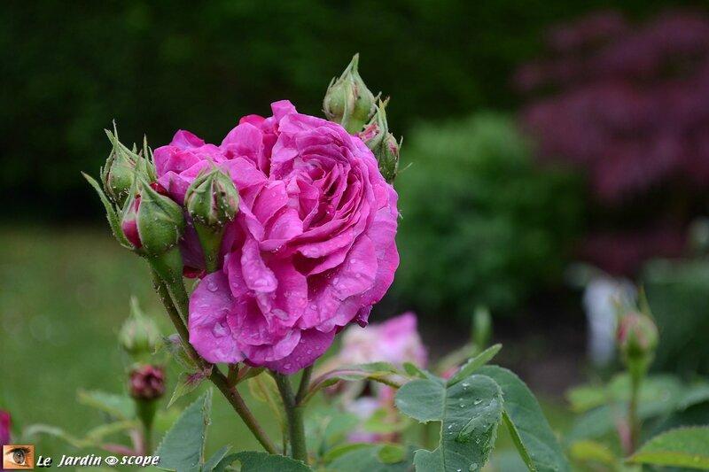 9963-Reine-des-Violettes