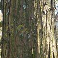Cyprès chauve • Taxodium distichum • Famille Taxodiaceae
