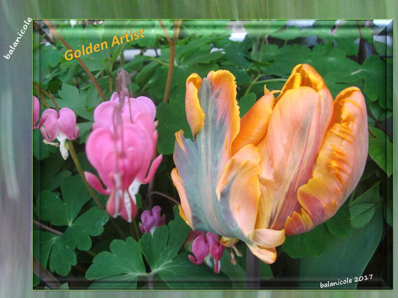 balanicole_2017_05_le printemps des tulipes_03_golden artist