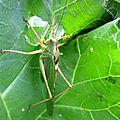 grande sauterelle verte (Prades d'Aubrac)