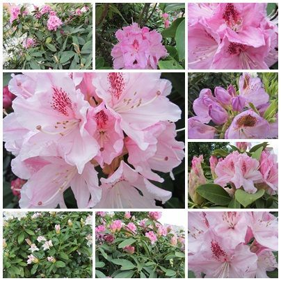 rhododendrons_3
