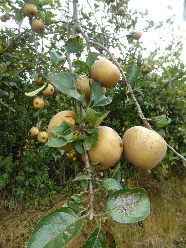 31-pommes (2)