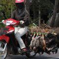 transport de poulets