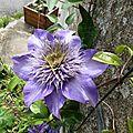 clématite violette de la maison