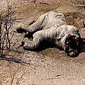 Massacre d'éléphants sans précédent au botswana