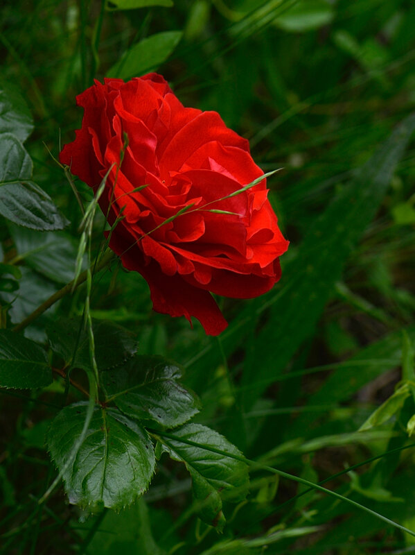 Rose rouge 3 07-02-17