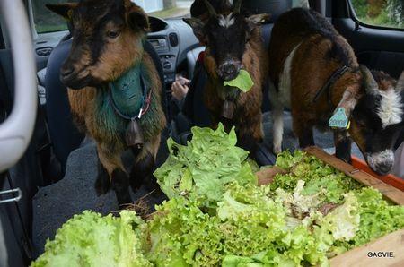 La transhumance des chévres rescapés aprés 2 agressions par des chiens