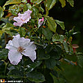 Rosa 'Pearf drift'