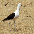 Avocette des andes (recurvirostra andina)