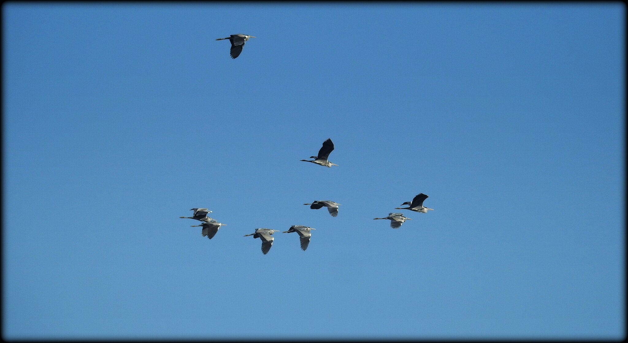HERONS_CENDRES_GRAND_SUD__CORSE_III_
