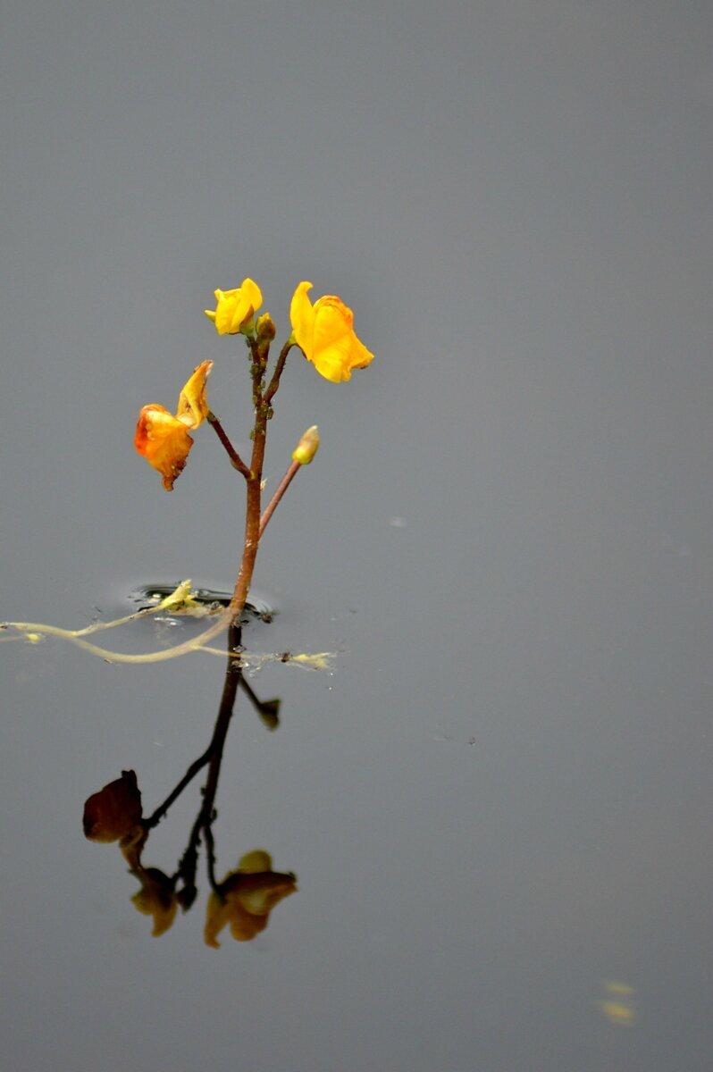 Utricularia australis R.Br., 1810