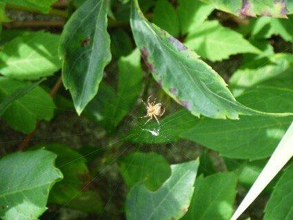 araignée, drôle de nom pour un pape !