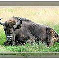 Faune - les bisons de ste eulalie (lozère)