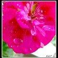 Quelques gouttes d eau sur une fleur