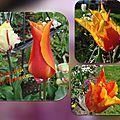 balanicole_2016_05_avril tulipes_15_tout feu tout flamme