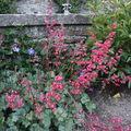 2009 06 02 Heuchera en fleur