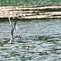 Jeux de Sternes Pierregarin autour d'un poisson