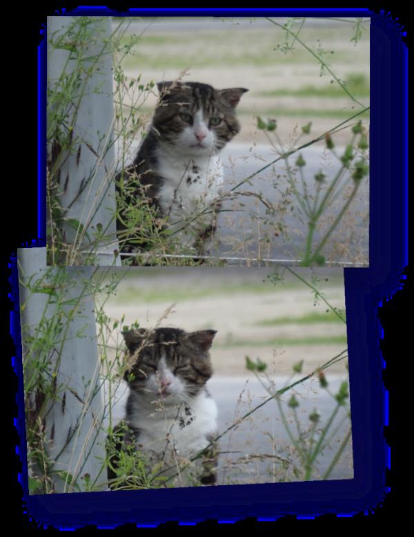 chat sauvage aux oreilles raplapla