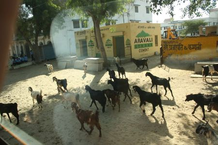 IMG_9306-chèvres en ville