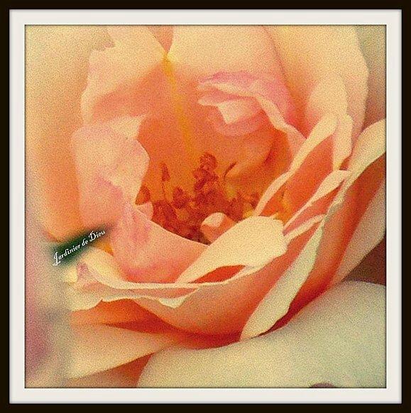 coeur-de-rose