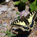 Papilio machaon (machaon)