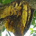 L'essaim est délicatement saisi par l'apiculteur .