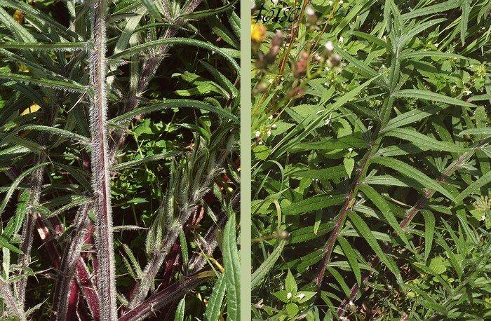 feuilles blanches tomenteuses dessous vertes épineuses dessus