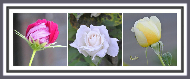 Chaque jour une naissance florale Rose63Juillet 2018