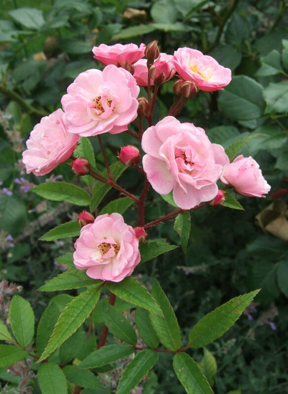 Rosa 'Heavenly Pink'