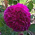 belle herminie (jardin)