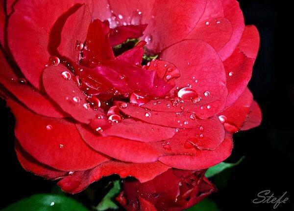 roses gouttes (15)
